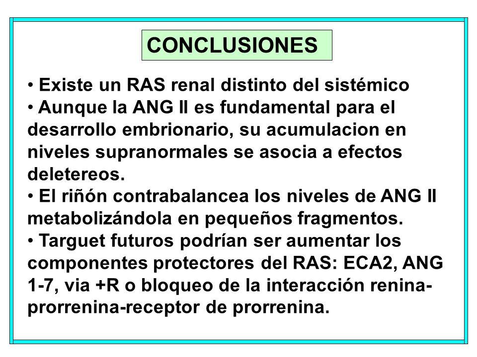 CONCLUSIONES Existe un RAS renal distinto del sistémico Aunque la ANG II es fundamental para el desarrollo embrionario, su acumulacion en niveles supranormales se asocia a efectos deletereos.