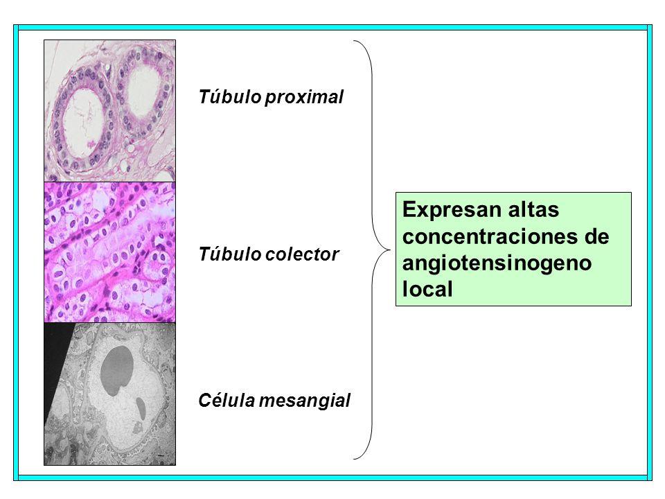 Túbulo proximal Túbulo colector Célula mesangial Expresan altas concentraciones de angiotensinogeno local