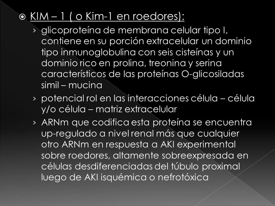 KIM – 1 ( o Kim-1 en roedores): glicoproteína de membrana celular tipo I, contiene en su porción extracelular un dominio tipo inmunoglobulina con seis cisteínas y un dominio rico en prolina, treonina y serina característicos de las proteínas O-glicosiladas simil – mucina potencial rol en las interacciones célula – célula y/o célula – matriz extracelular ARNm que codifica esta proteína se encuentra up-regulado a nivel renal más que cualquier otro ARNm en respuesta a AKI experimental sobre roedores, altamente sobreexpresada en células desdiferenciadas del túbulo proximal luego de AKI isquémica o nefrotóxica