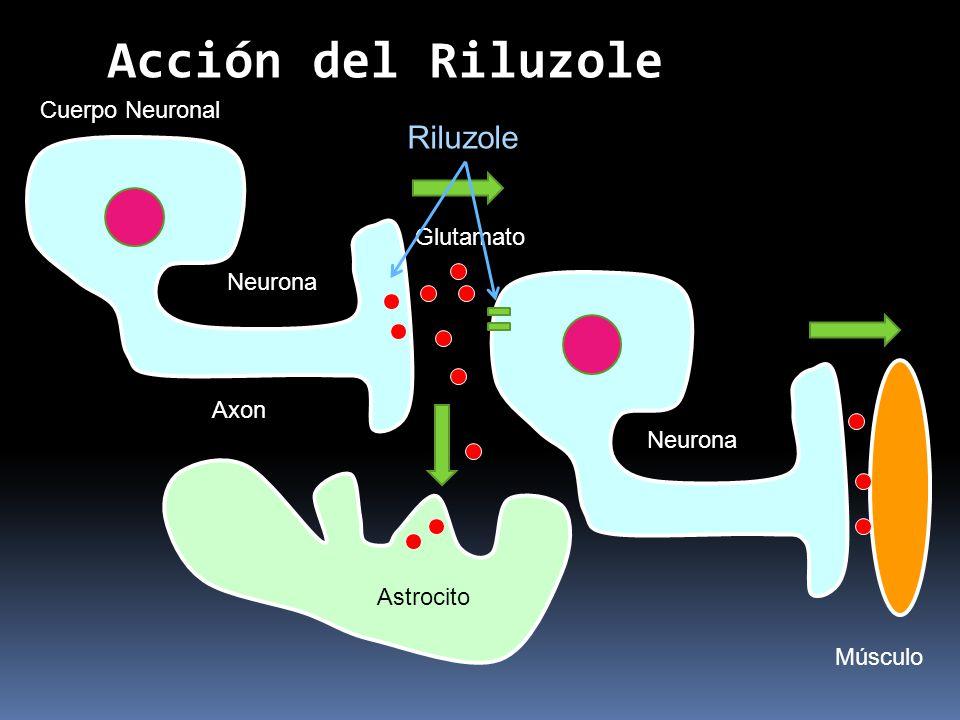 Neurona Axon Cuerpo Neuronal Glutamato Astrocito Neurona Músculo Acción del Riluzole Riluzole
