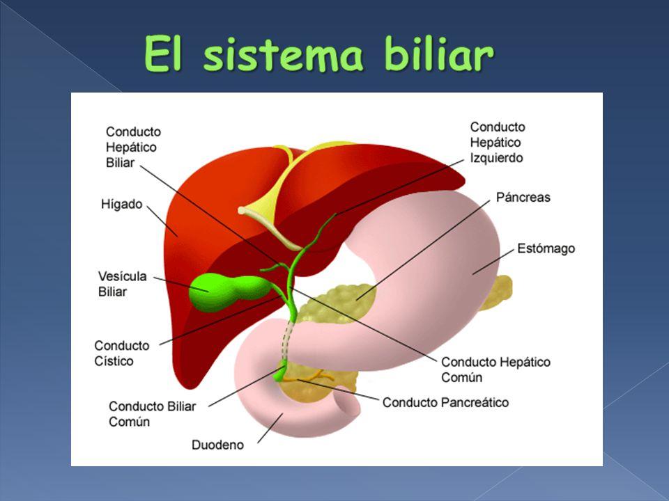 Bilis Emulsificante de Lipidos dietarios Absorción Vit.