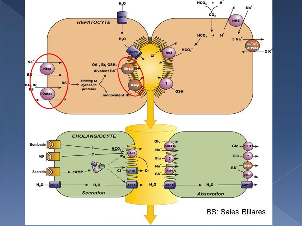 Colestasis neonatal Extrahepática Atresia de vias biliares Intrahepática Lesion de los Hepatocitos Lesion de los Conductillos biliares Errores del metabolismo de ác.