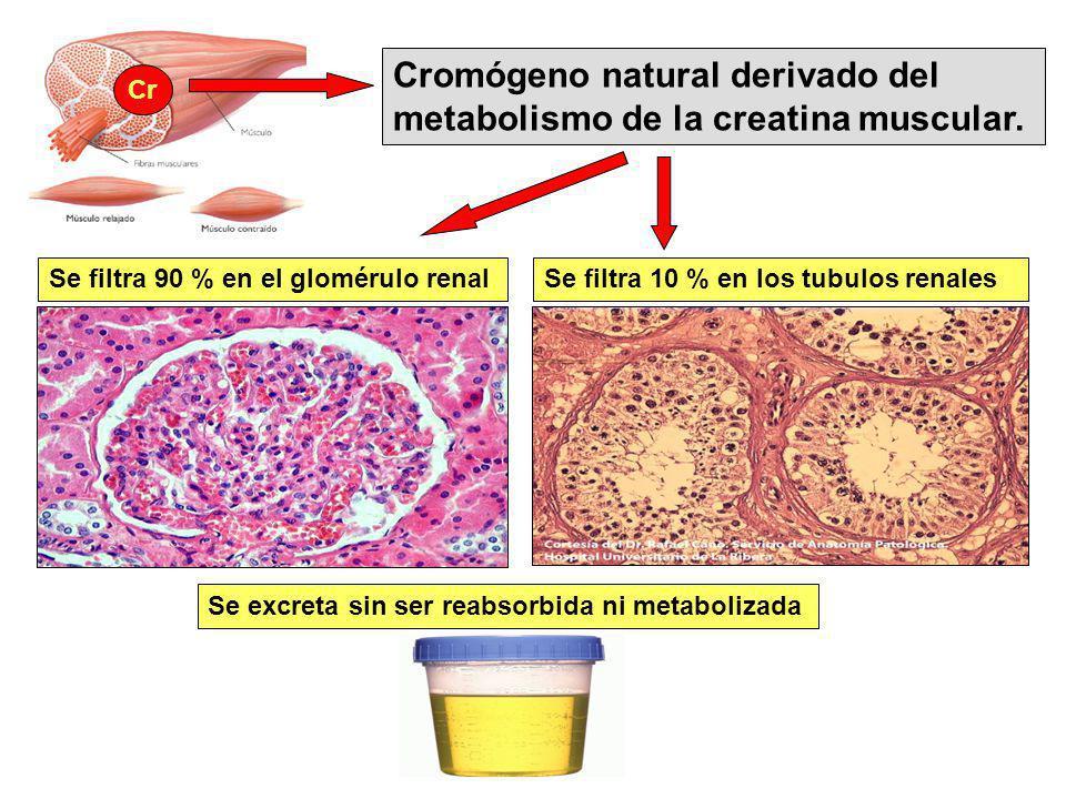Cromógeno natural derivado del metabolismo de la creatina muscular. Cr Se filtra 90 % en el glomérulo renalSe filtra 10 % en los tubulos renales Se ex