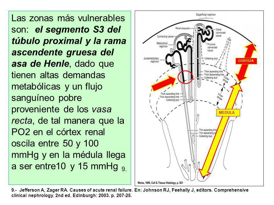 CORTEZA MEDULA Las zonas más vulnerables son: el segmento S3 del túbulo proximal y la rama ascendente gruesa del asa de Henle, dado que tienen altas demandas metabólicas y un flujo sanguíneo pobre proveniente de los vasa recta, de tal manera que la PO2 en el córtex renal oscila entre 50 y 100 mmHg y en la médula llega a ser entre10 y 15 mmHg 9.