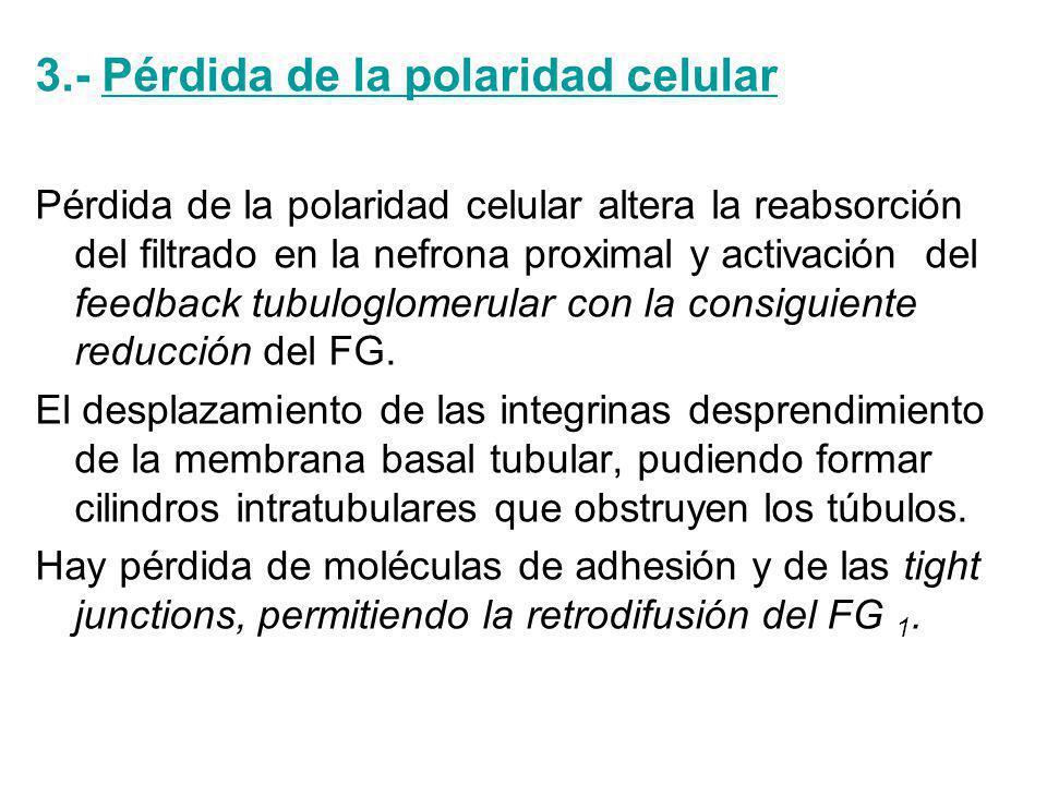 3.- Pérdida de la polaridad celular Pérdida de la polaridad celular altera la reabsorción del filtrado en la nefrona proximal y activación del feedback tubuloglomerular con la consiguiente reducción del FG.