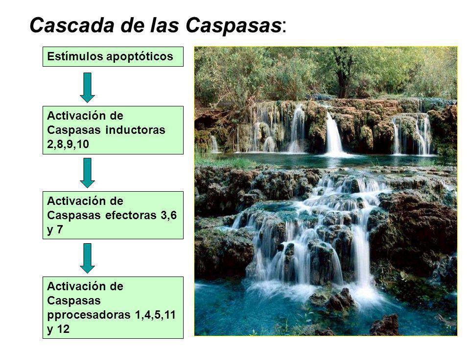 Cascada de las Caspasas: Estímulos apoptóticos Activación de Caspasas inductoras 2,8,9,10 Activación de Caspasas efectoras 3,6 y 7 Activación de Caspasas pprocesadoras 1,4,5,11 y 12
