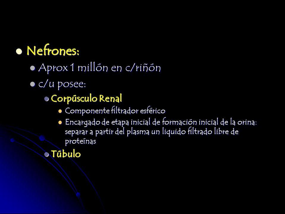 Nefrones: Nefrones: Aprox 1 millón en c/riñón Aprox 1 millón en c/riñón c/u posee: c/u posee: Corpúsculo Renal Corpúsculo Renal Componente filtrador e