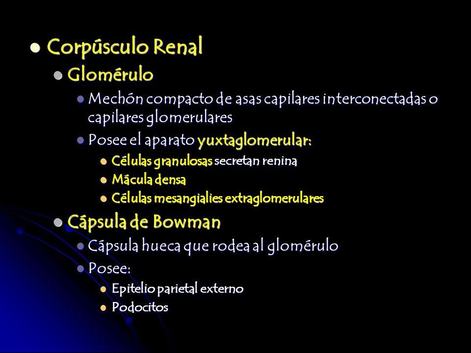 Corpúsculo Renal Corpúsculo Renal Glomérulo Glomérulo Mechón compacto de asas capilares interconectadas o capilares glomerulares Mechón compacto de as