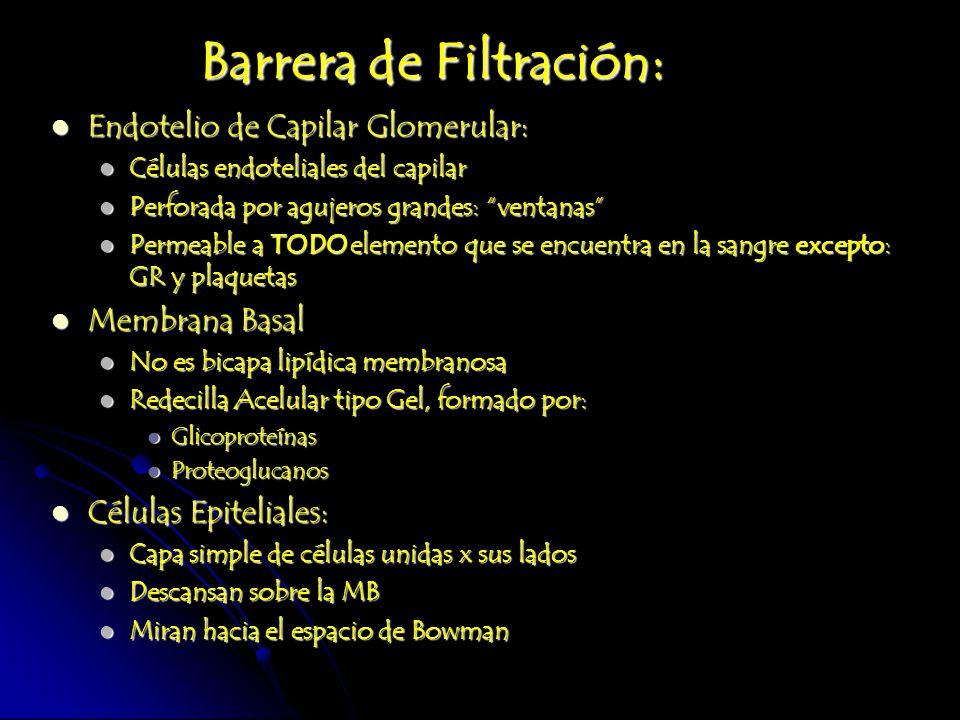 Barrera de Filtración: Endotelio de Capilar Glomerular: Endotelio de Capilar Glomerular: Células endoteliales del capilar Células endoteliales del cap