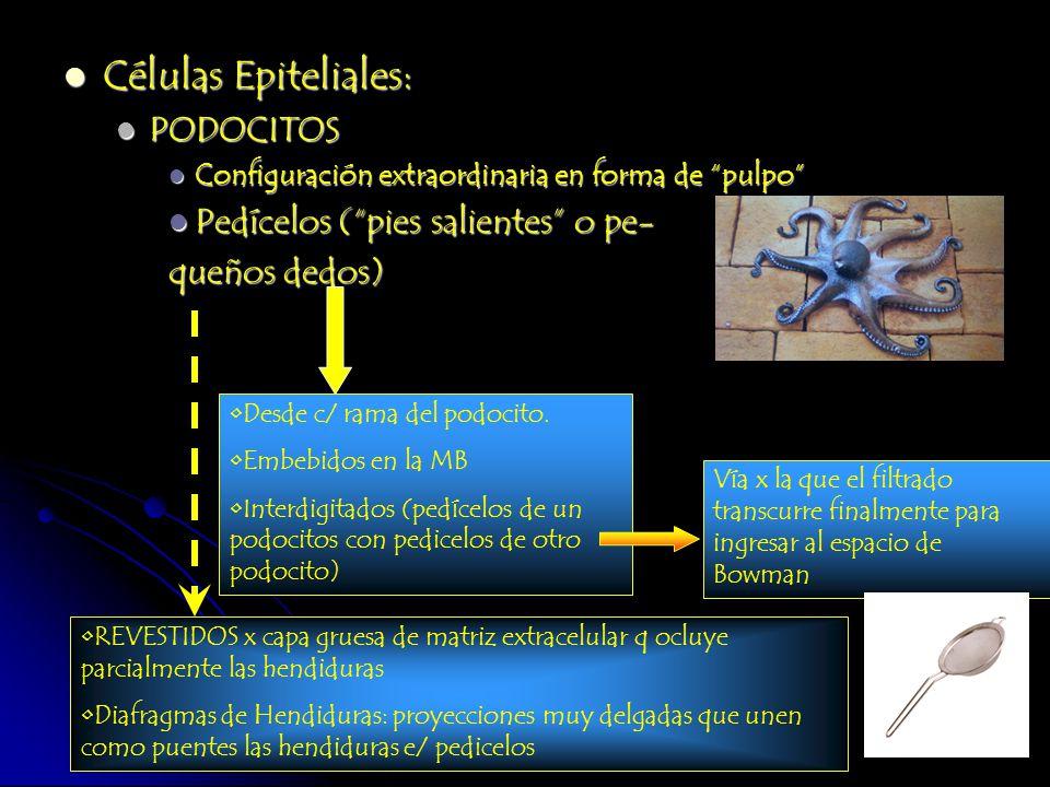 Células Epiteliales: Células Epiteliales: PODOCITOS PODOCITOS Configuración extraordinaria en forma de pulpo Configuración extraordinaria en forma de