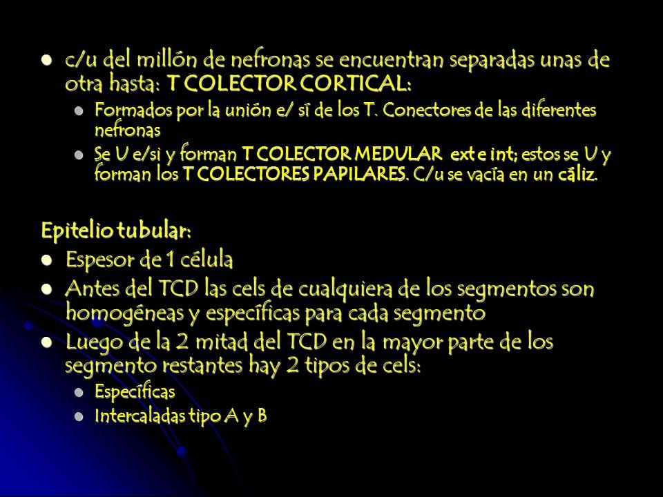 c/u del millón de nefronas se encuentran separadas unas de otra hasta: T COLECTOR CORTICAL: c/u del millón de nefronas se encuentran separadas unas de