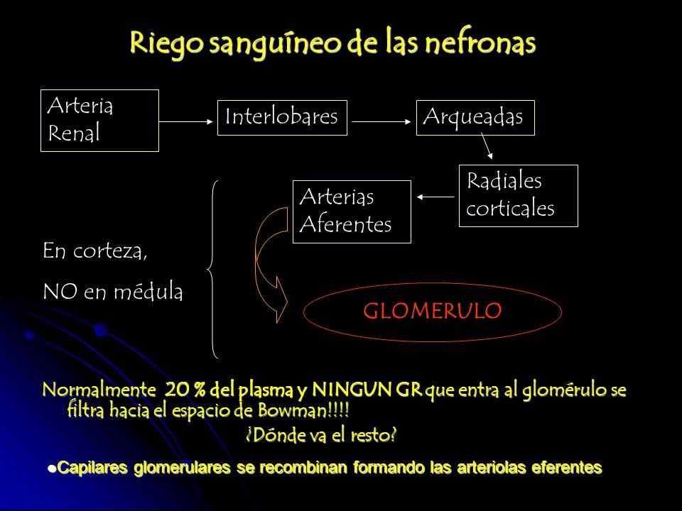 Riego sanguíneo de las nefronas Normalmente 20 % del plasma y NINGUN GR que entra al glomérulo se filtra hacia el espacio de Bowman!!!! ¿Dónde va el r