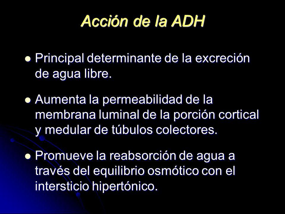 Acción de la ADH Principal determinante de la excreción de agua libre. Principal determinante de la excreción de agua libre. Aumenta la permeabilidad