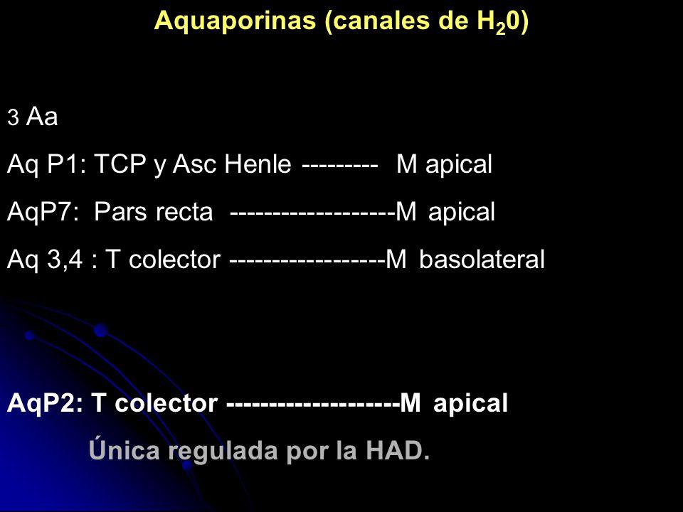 Aquaporinas (canales de H 2 0) 3 Aa Aq P1: TCP y Asc Henle --------- M apical AqP7: Pars recta -------------------M apical Aq 3,4 : T colector -------