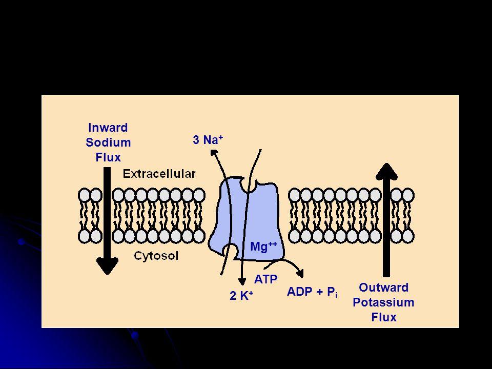 Inward Sodium Flux Outward Potassium Flux 3 Na + 2 K + ATP Mg ++ ADP + P i
