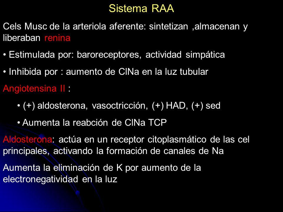 Sistema RAA Cels Musc de la arteriola aferente: sintetizan,almacenan y liberaban renina Estimulada por: baroreceptores, actividad simpática Inhibida p