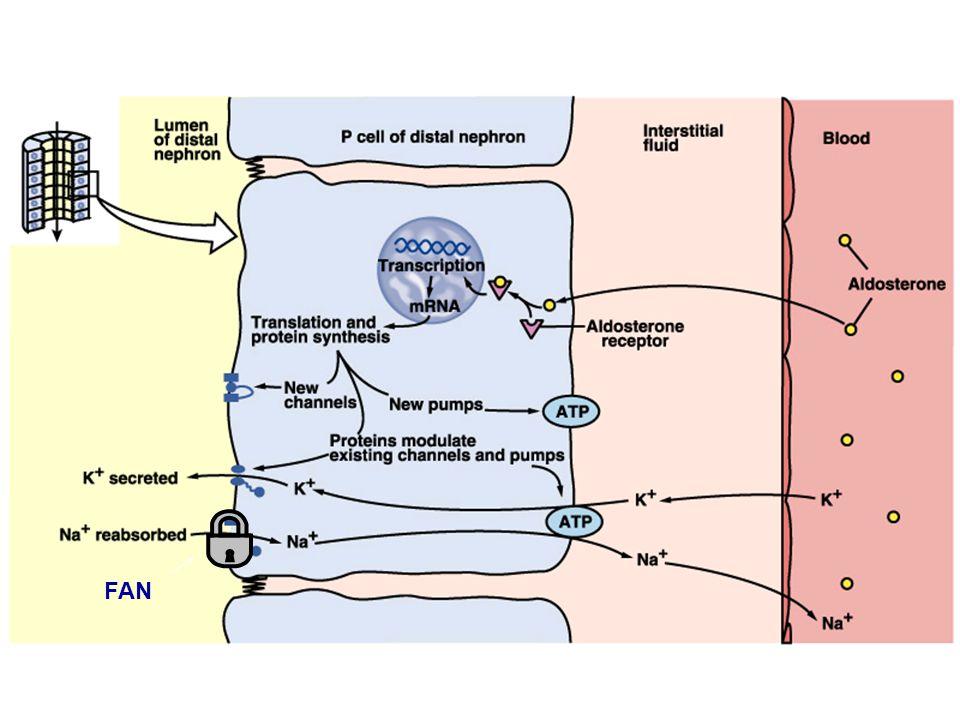 Principal cells & aldosterone FAN