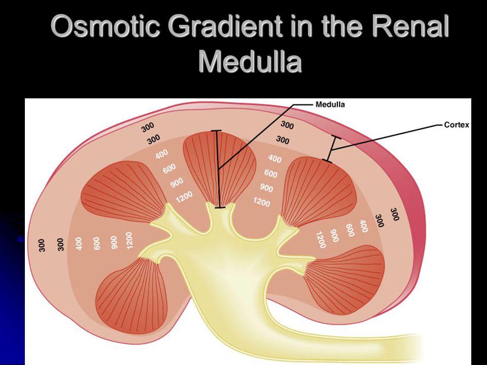 Osmotic Gradient in the Renal Medulla Figure 25.13