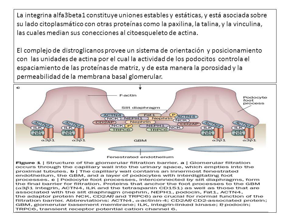La integrina alfa3beta1 constituye uniones estables y estáticas, y está asociada sobre su lado citoplasmático con otras proteínas como la paxilina, la