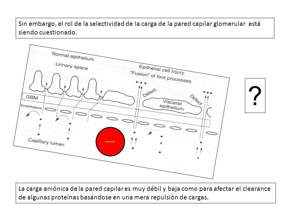 La carga aniónica de la pared capilar es muy débil y baja como para afectar el clearance de algunas proteínas basándose en una mera repulsión de carga