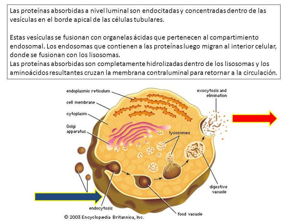 Las proteínas absorbidas a nivel luminal son endocitadas y concentradas dentro de las vesículas en el borde apical de las células tubulares. Estas ves
