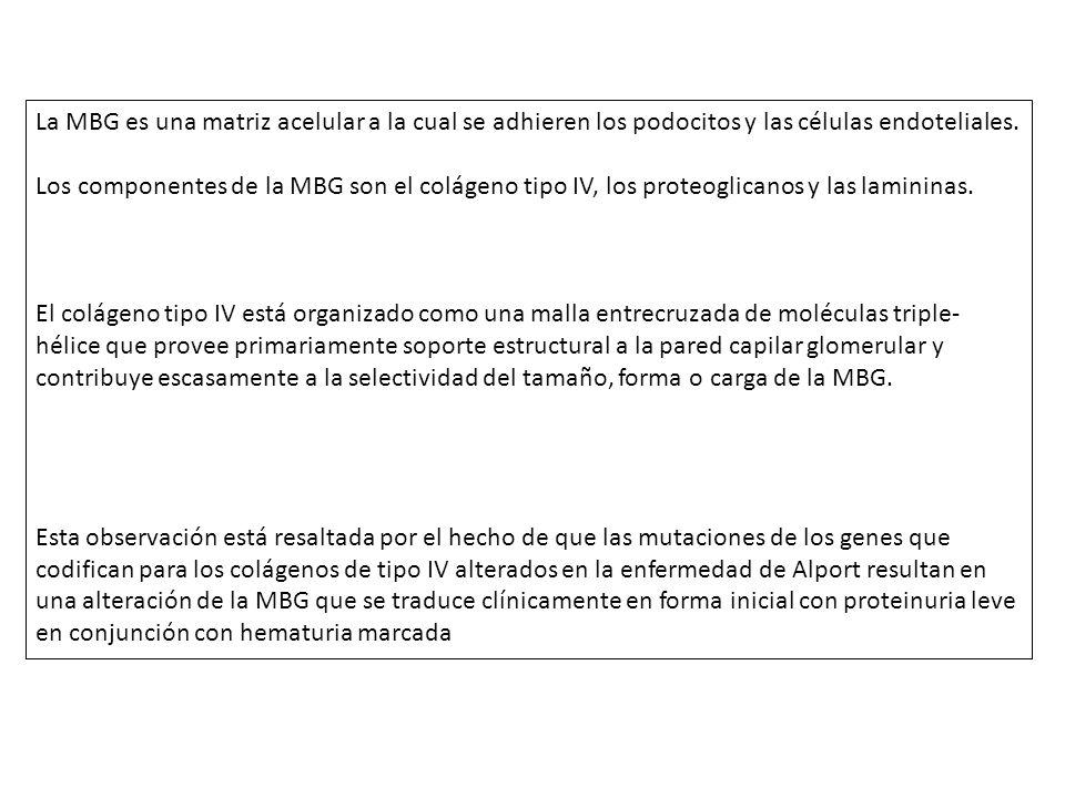 La MBG es una matriz acelular a la cual se adhieren los podocitos y las células endoteliales. Los componentes de la MBG son el colágeno tipo IV, los p