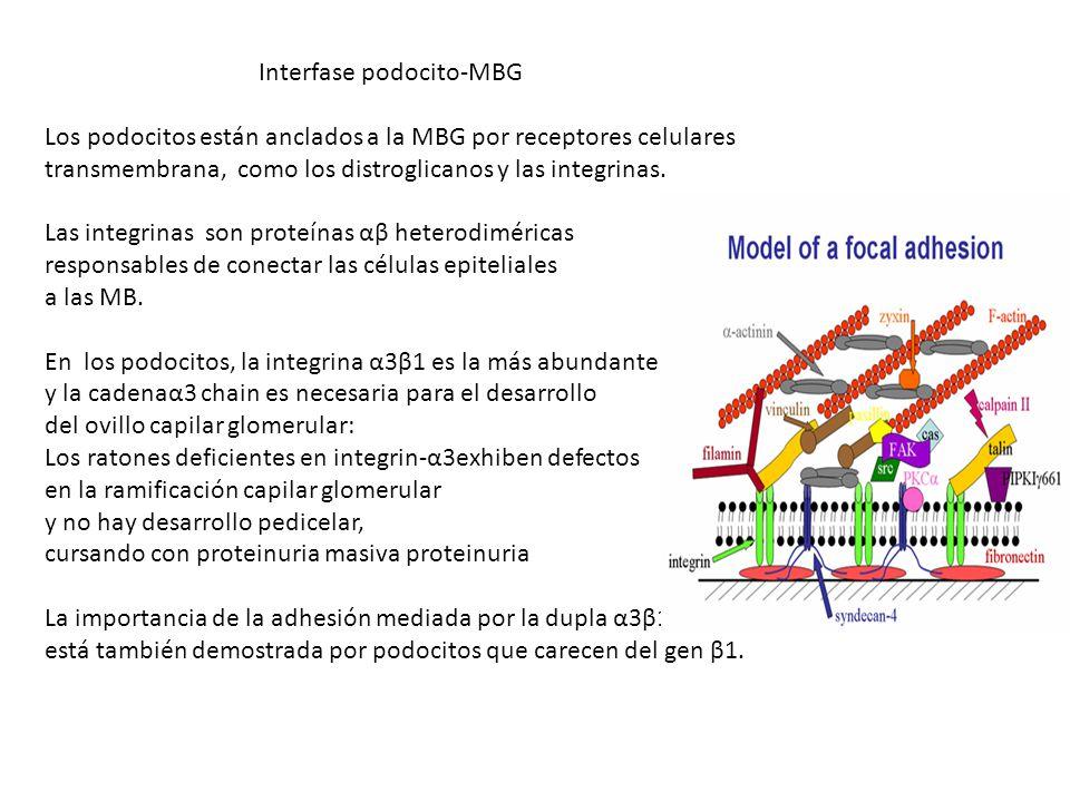 Interfase podocito-MBG Los podocitos están anclados a la MBG por receptores celulares transmembrana, como los distroglicanos y las integrinas. Las int