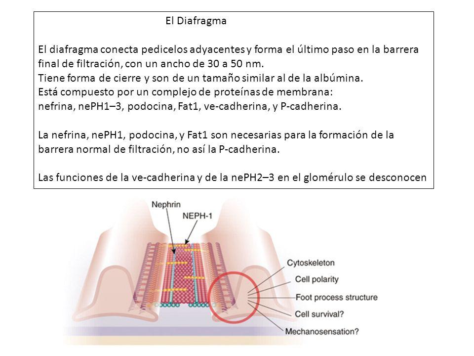 El Diafragma El diafragma conecta pedicelos adyacentes y forma el último paso en la barrera final de filtración, con un ancho de 30 a 50 nm. Tiene for