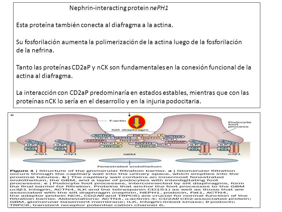 Nephrin-interacting protein nePH1 Esta proteína también conecta al diafragma a la actina. Su fosforilación aumenta la polimerización de la actina lueg