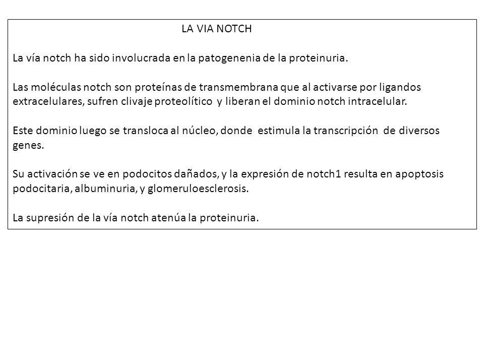 LA VIA NOTCH La vía notch ha sido involucrada en la patogenenia de la proteinuria. Las moléculas notch son proteínas de transmembrana que al activarse