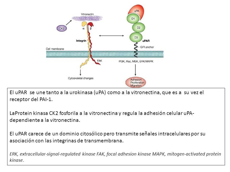 El uPAR se une tanto a la urokinasa (uPA) como a la vitronectina, que es a su vez el receptor del PAI-1. LaProtein kinasa CK2 fosforila a la vitronect