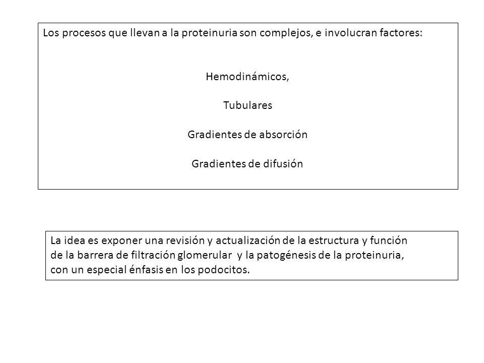 Célula endotelial glomerular (e) 1
