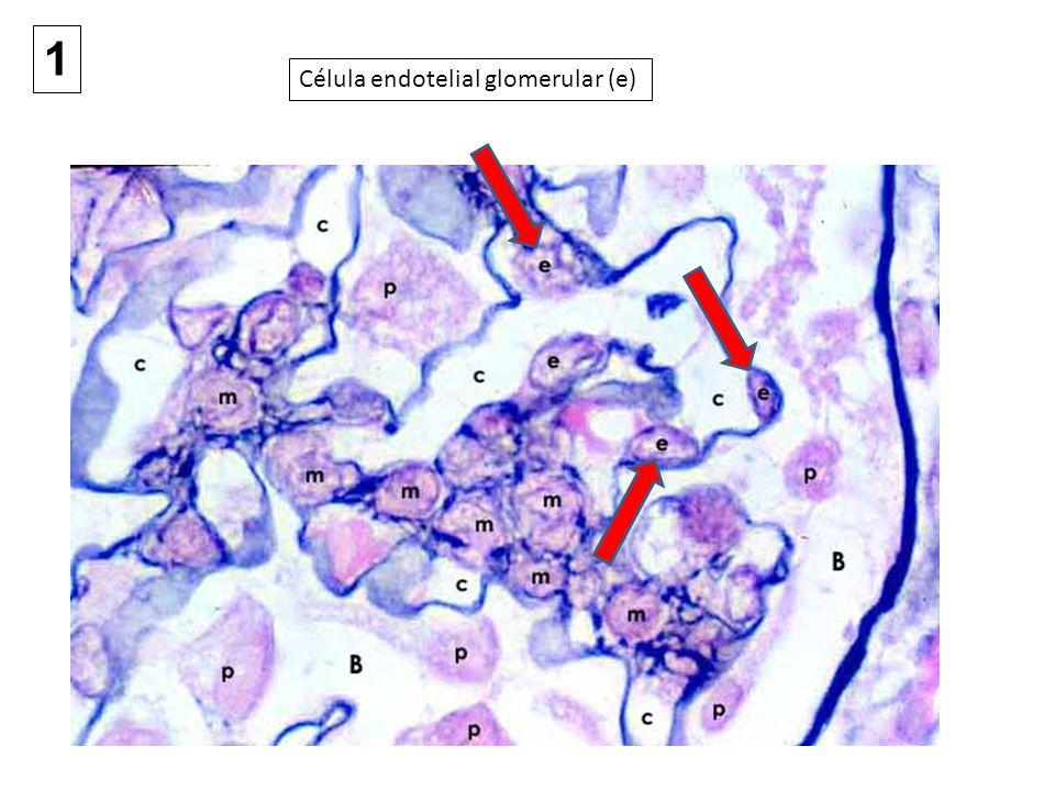 El endotelio del capilar glomerular contiene numerosas fenestras, que constituyen el 20–50% del área de la superficie capilar total.