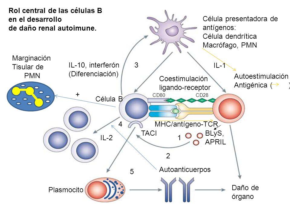IL-10, interferón (Diferenciación) 3 Célula presentadora de antígenos: Célula dendrítica Macrófago, PMN Coestimulación ligando-receptor Célula B MHC/a