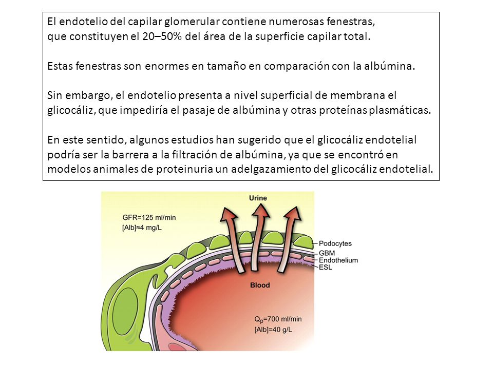 El Factor de crecimiento endotelial vascular (vascular endothelial growth factor (VEGF) es fundamental para el funcionamiento normal del endotelio.
