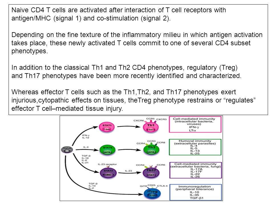 Naive CD4 T cells are activated after interaction of T cell receptors with antigen/MHC (signal 1) and co-stimulation (signal 2). Depending on the fine