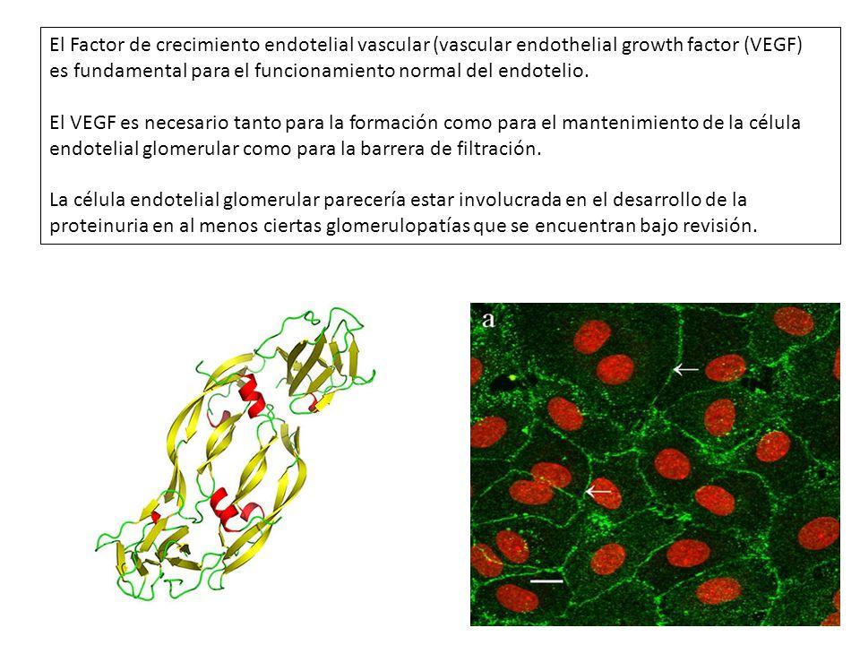 Estímulos liberación VEGF HIPOXIAHIPOGLUCEMIA Citoquinas (TNF-a/IL-1/IL-6) TROMBINA FACTORES DE CRECIMIENTO HORMONASAGEs El VEGF juega un Rol fundamental en micro circulación glomerular Deleción del gen del VEGFTratamiento BEVACIZUMAB Lesiones renales x microangiopatía trombótica