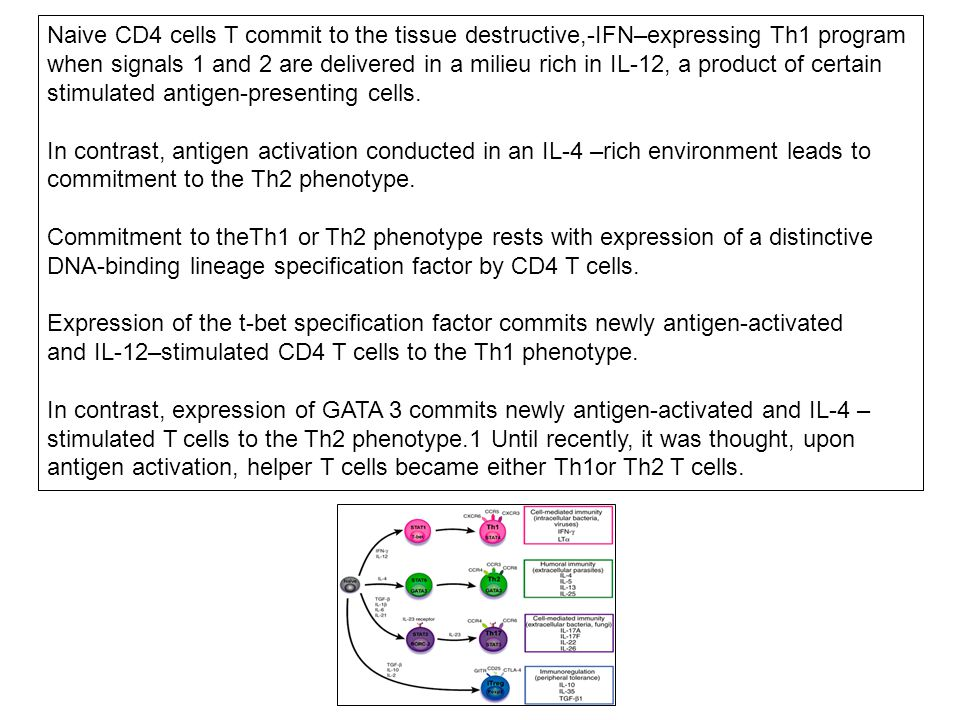 Naive CD4 cells T commit to the tissue destructive,-IFN–expressing Th1 program when signals 1 and 2 are delivered in a milieu rich in IL-12, a product