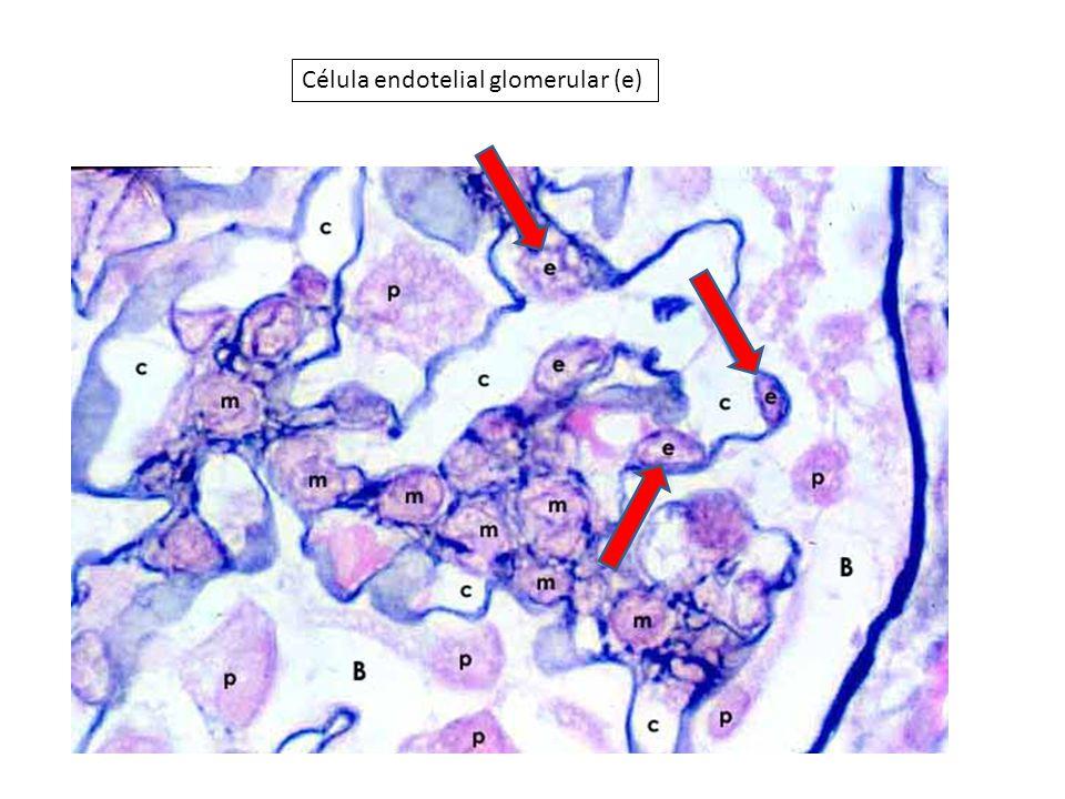 Célula endotelial glomerular (e)