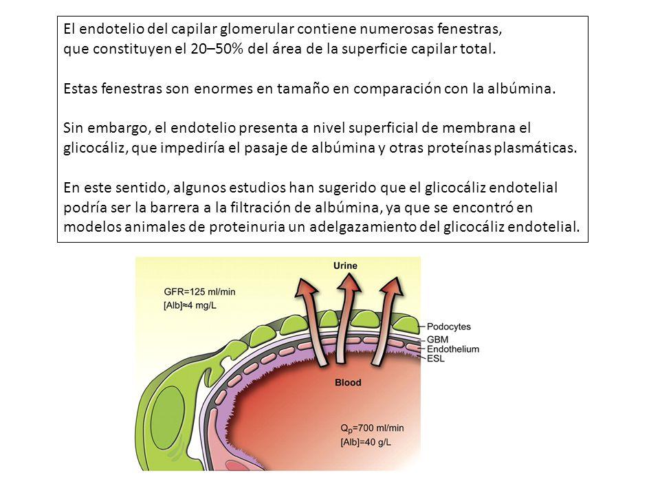 El endotelio del capilar glomerular contiene numerosas fenestras, que constituyen el 20–50% del área de la superficie capilar total. Estas fenestras s
