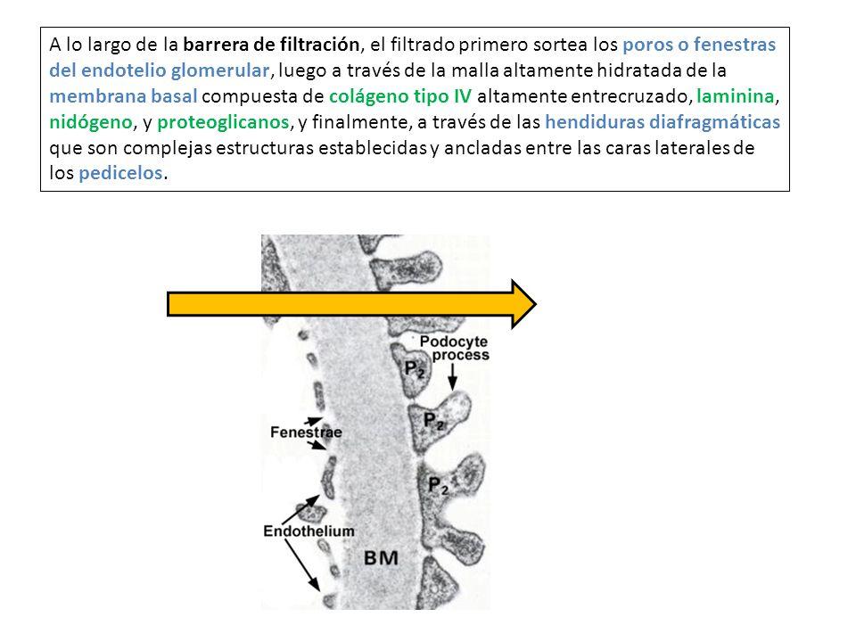A lo largo de la barrera de filtración, el filtrado primero sortea los poros o fenestras del endotelio glomerular, luego a través de la malla altament