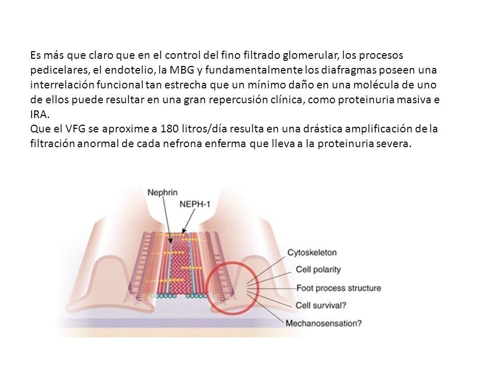 Es más que claro que en el control del fino filtrado glomerular, los procesos pedicelares, el endotelio, la MBG y fundamentalmente los diafragmas pose