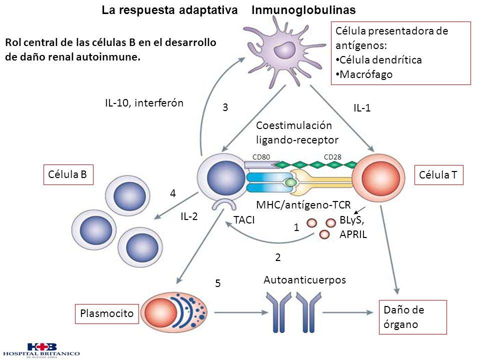 IL-10, interferón 3 Célula presentadora de antígenos: Célula dendrítica Macrófago Coestimulación ligando-receptor Célula B MHC/antígeno-TCR BLyS, APRI