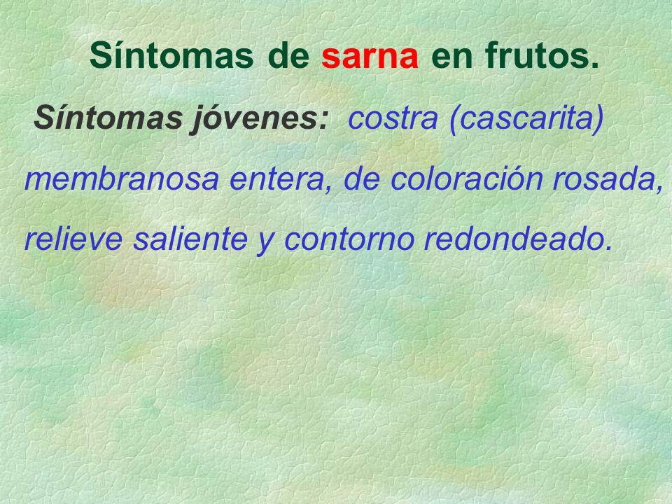 Síntomas de sarna en frutos. Síntomas jóvenes: costra (cascarita) membranosa entera, de coloración rosada, relieve saliente y contorno redondeado.