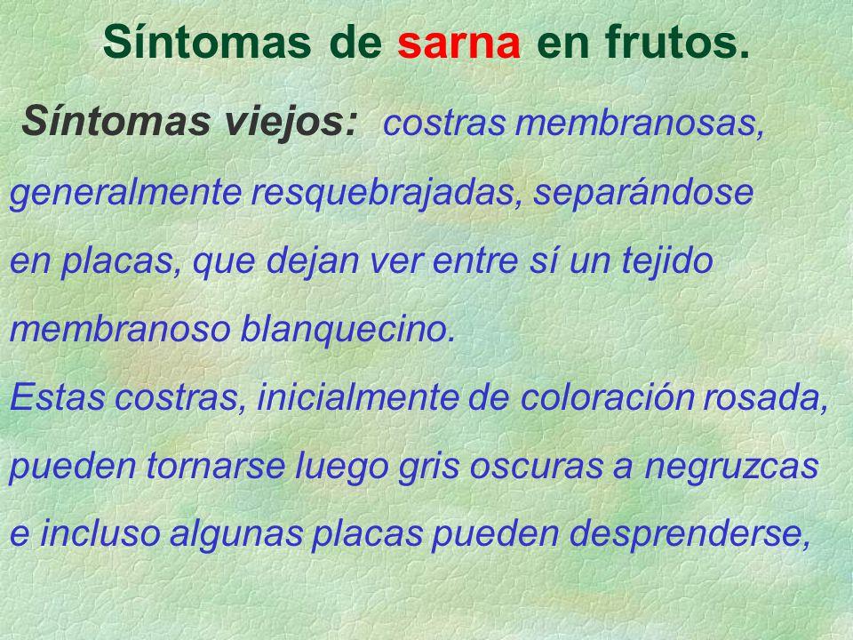 Síntomas de sarna en frutos. Síntomas viejos: costras membranosas, generalmente resquebrajadas, separándose en placas, que dejan ver entre sí un tejid