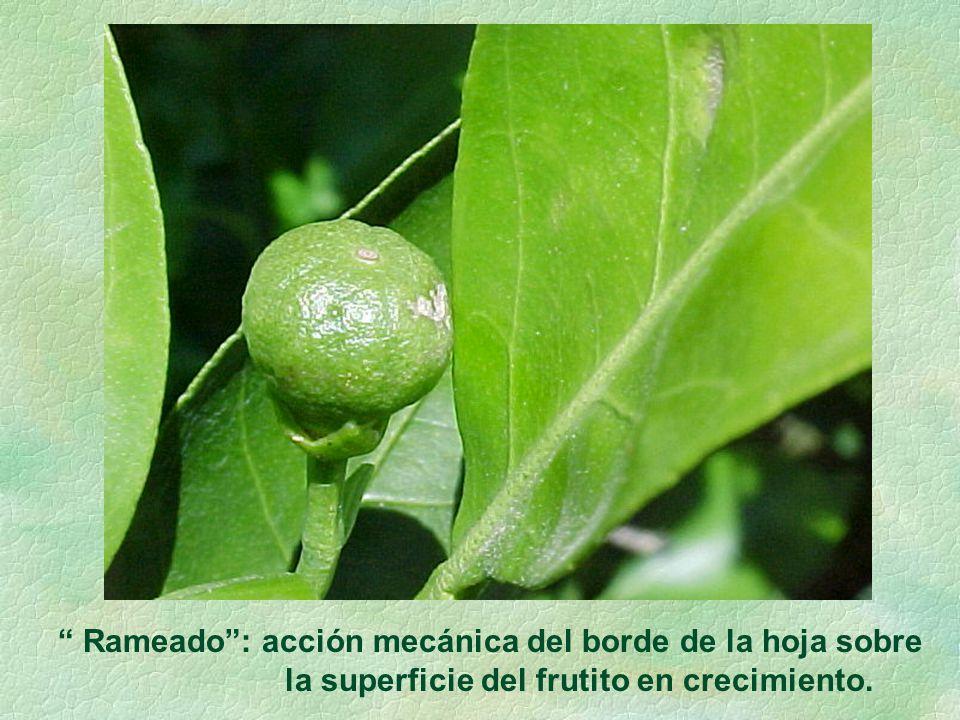 Rameado: acción mecánica del borde de la hoja sobre la superficie del frutito en crecimiento.
