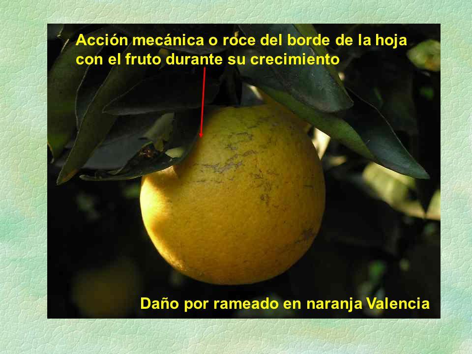 Daño por rameado en naranja Valencia Acción mecánica o roce del borde de la hoja con el fruto durante su crecimiento