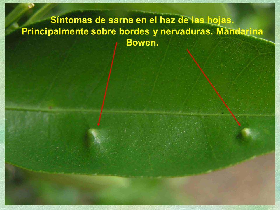 Síntomas de sarna en el haz de las hojas. Principalmente sobre bordes y nervaduras. Mandarina Bowen.