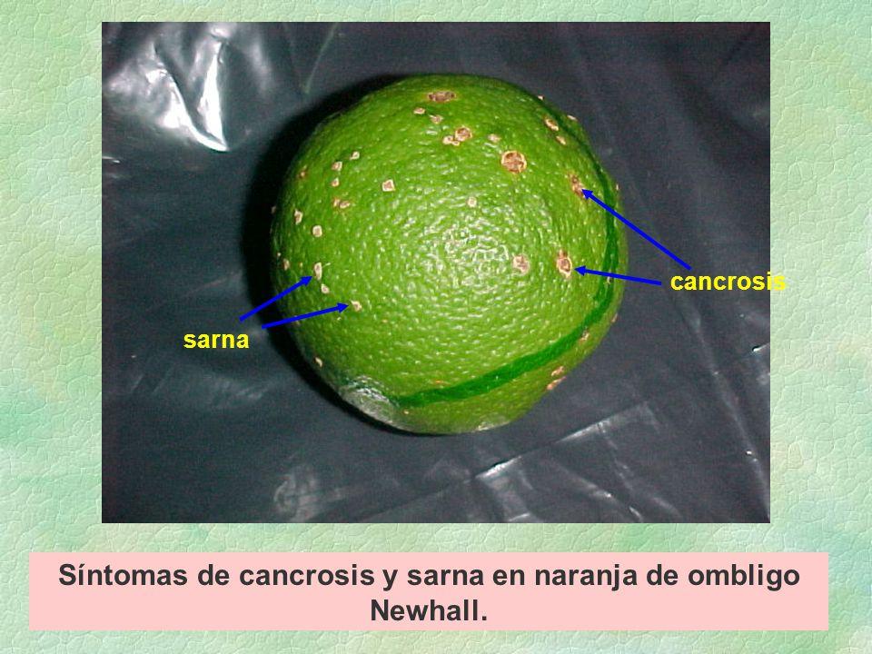 Síntomas de cancrosis y sarna en naranja de ombligo Newhall. cancrosis sarna