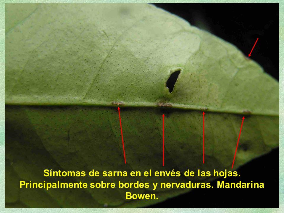 Síntomas de sarna en el envés de las hojas. Principalmente sobre bordes y nervaduras. Mandarina Bowen.